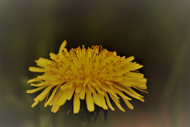 Close up of a flowering dandelion