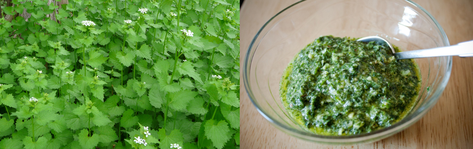 garlic mustard flowers and pesto