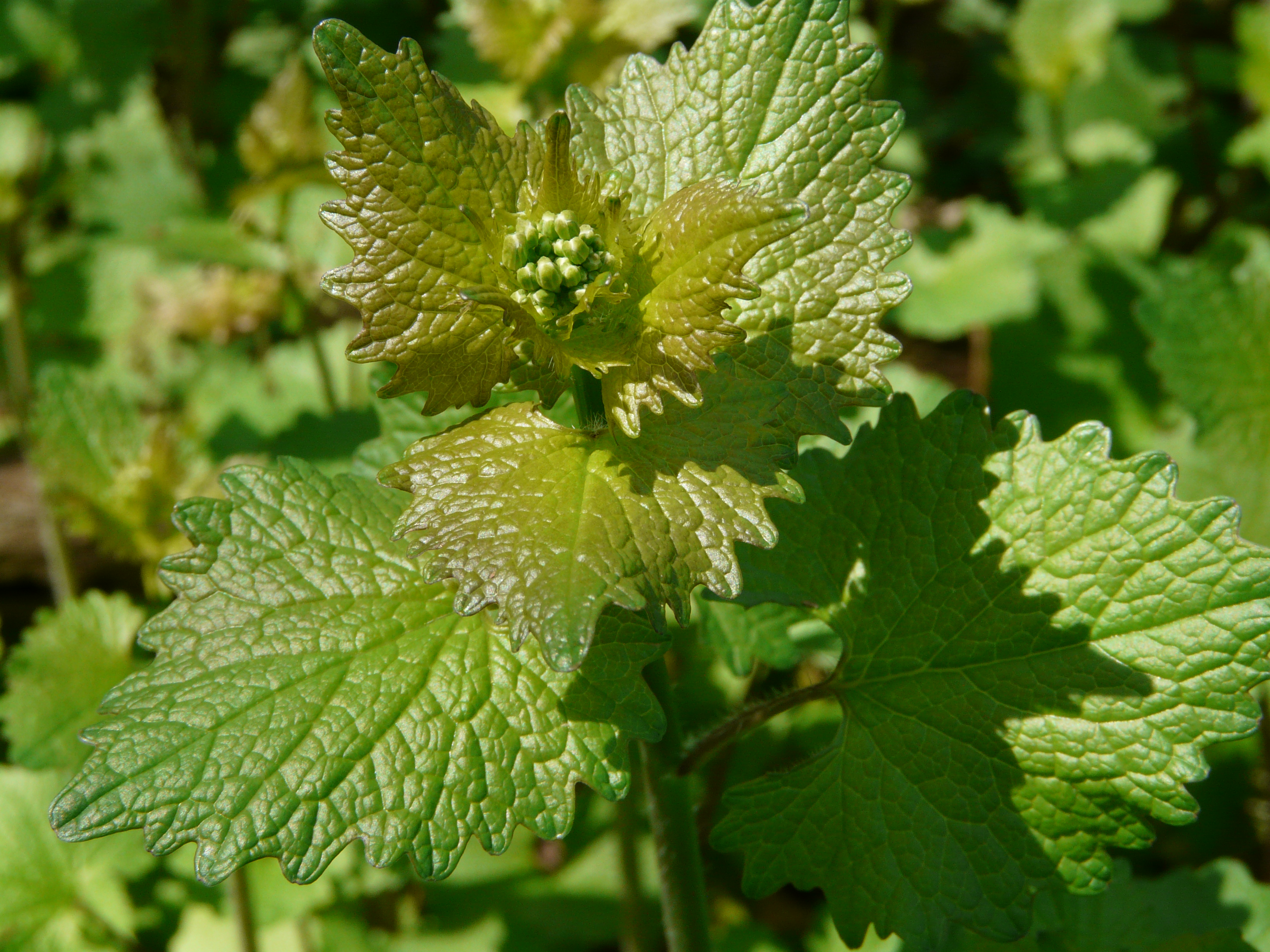 close up of garlic mustard shoot