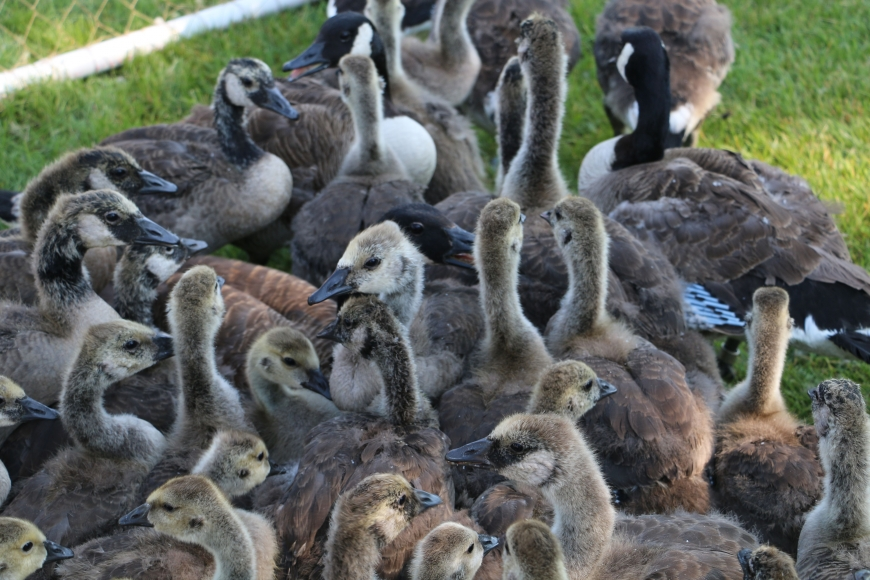 Isolated pen of goslings.