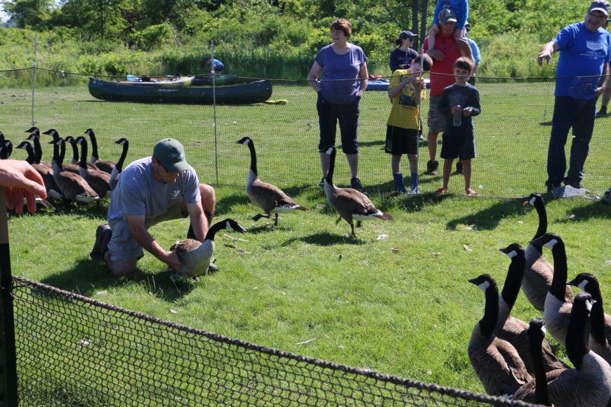 DEC member wrangling a goose for tagging.