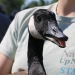 Adult goose held by Emlyn Crocker of Nature Up North