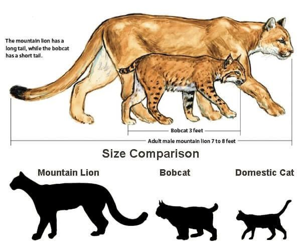 size comparison of cougars to other felines