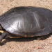 Painted turtle.